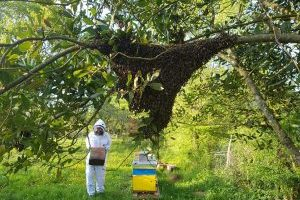 Essaim d'abeille sur une branche, préservation, biodiversité. Essaim abeilles guêpes