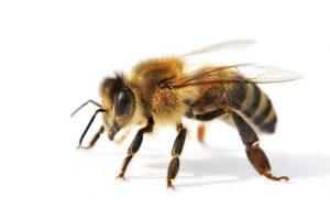 Reconnaître l'abeille, Préservation, Ruche, Miel, Essaim abeilles guêpes