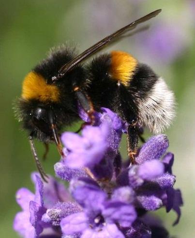 Bourdon, pollinisateur, ne pique quasiment jamais, nid dans le sol, nid sous un toit. Essaim abeilles guêpes