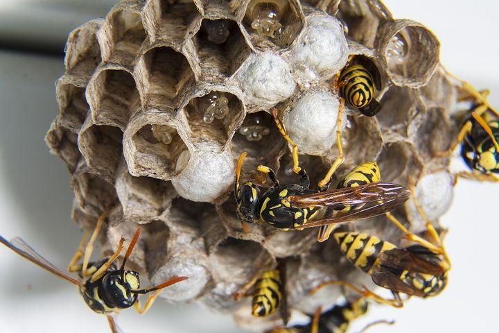 Nid de guêpes, piqure, nid dans la terre, nid sous un toit. Essaim abeilles guêpes