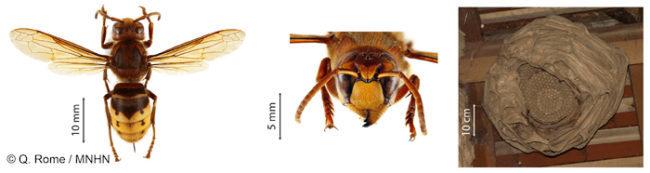 Frelon d'Europe et son nid, nid dans une souche, nid dans un tronc, nid sous un toit, Essaim abeilles guêpes