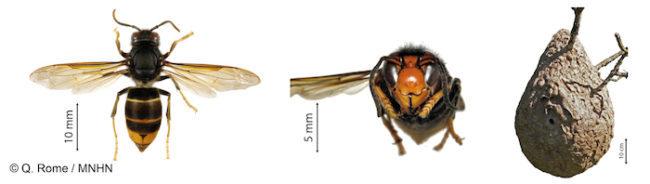Frelon asiatique, agressif, danger, nid dans un arbre, nid dans un buisson, nid dans une haie, nid sous un toit, Essaim abeilles guêpes.